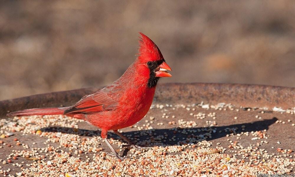 do cardinals migrate?