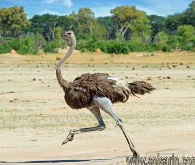 can emus fly?