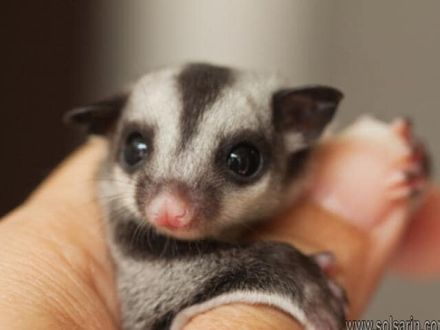 are sugar gliders rodents?