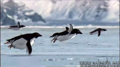 can penguins fly?
