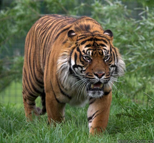 how much do siberian tigers weigh?
