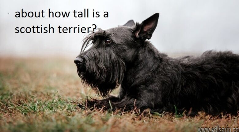 about how tall is a scottish terrier?
