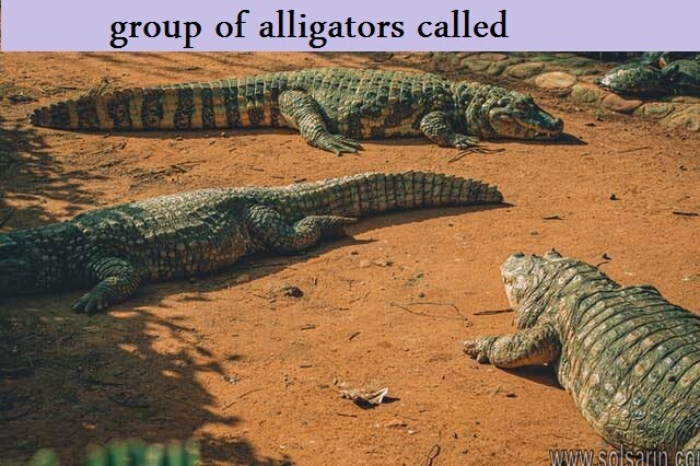 group of alligators called