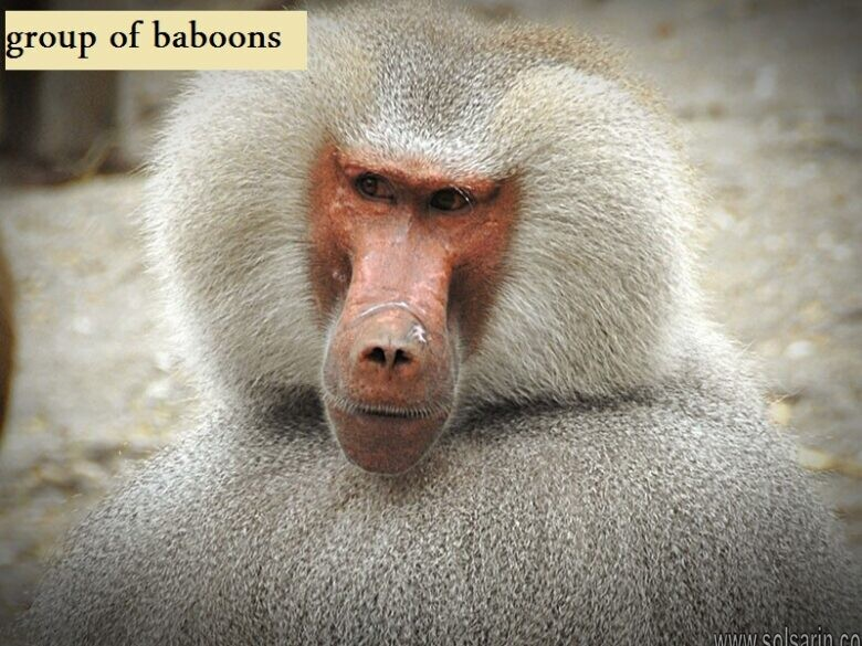 group of baboons