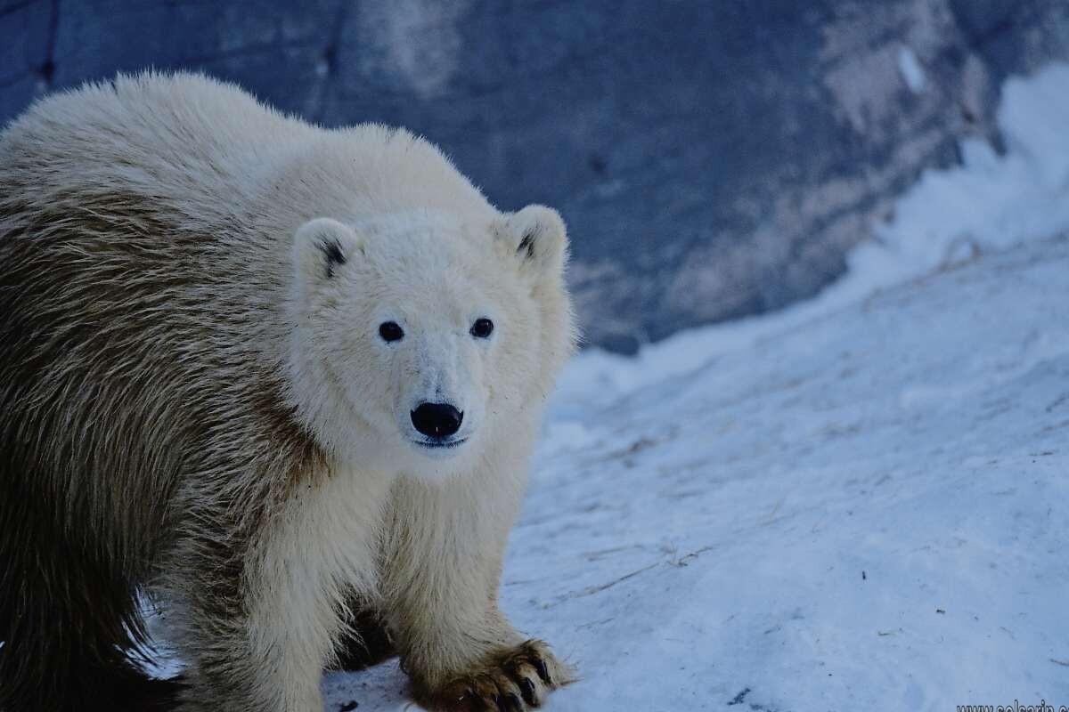 inuit word for polar bear