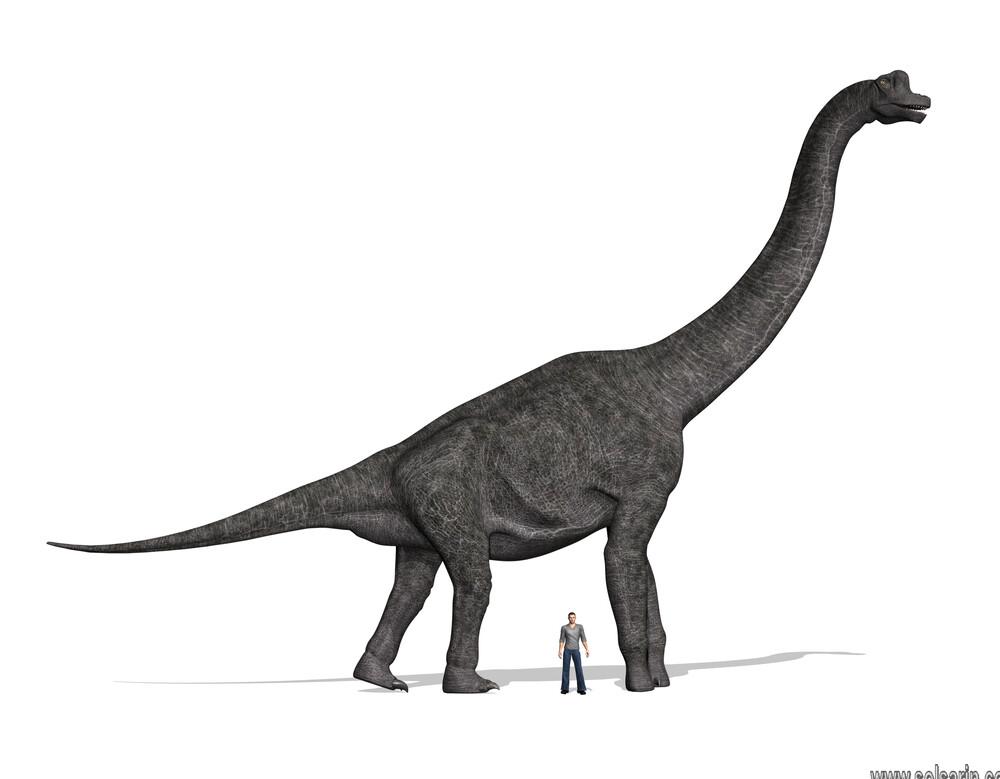 how tall is a brachiosaurus?
