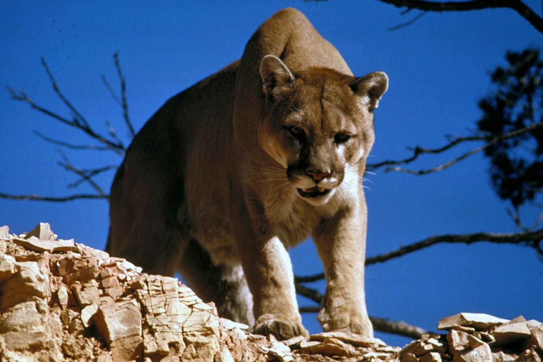 cougar lifespan