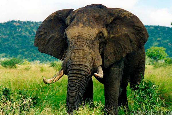 elephant lifespan