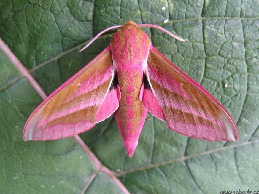 elephant moth lifespan