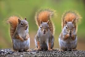 What do squirrels do with their tails?