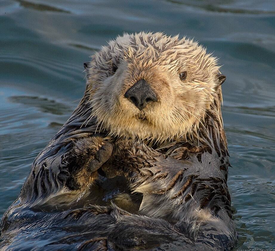 are otters mammals?