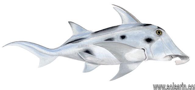 elephant shark lifespan