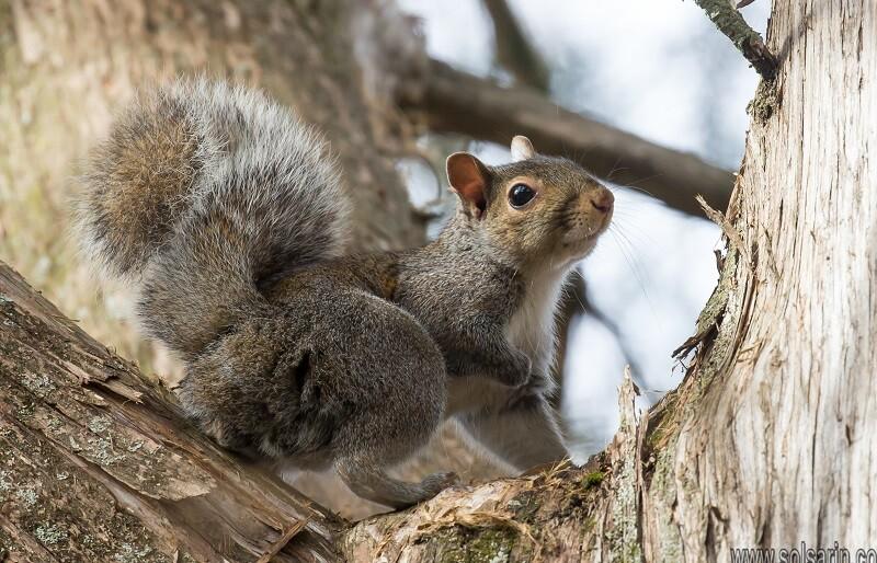 squirrel lifespan