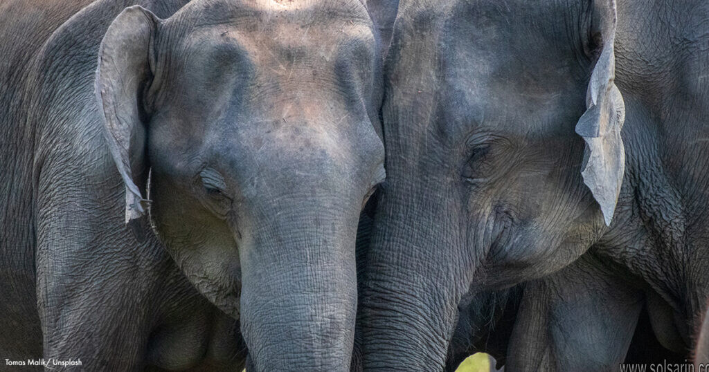 elephant lifespan in wild