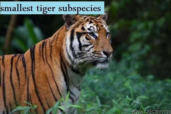 smallest tiger subspecies