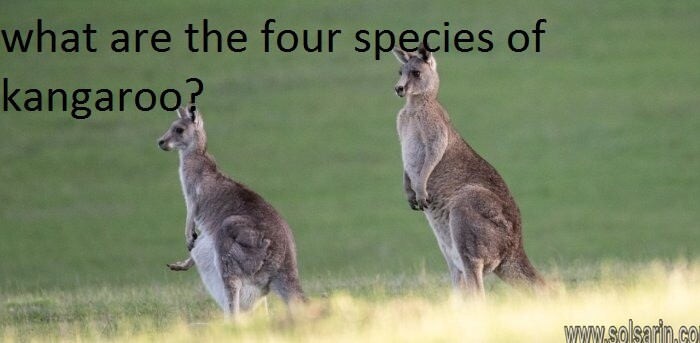 what are the four species of kangaroo?