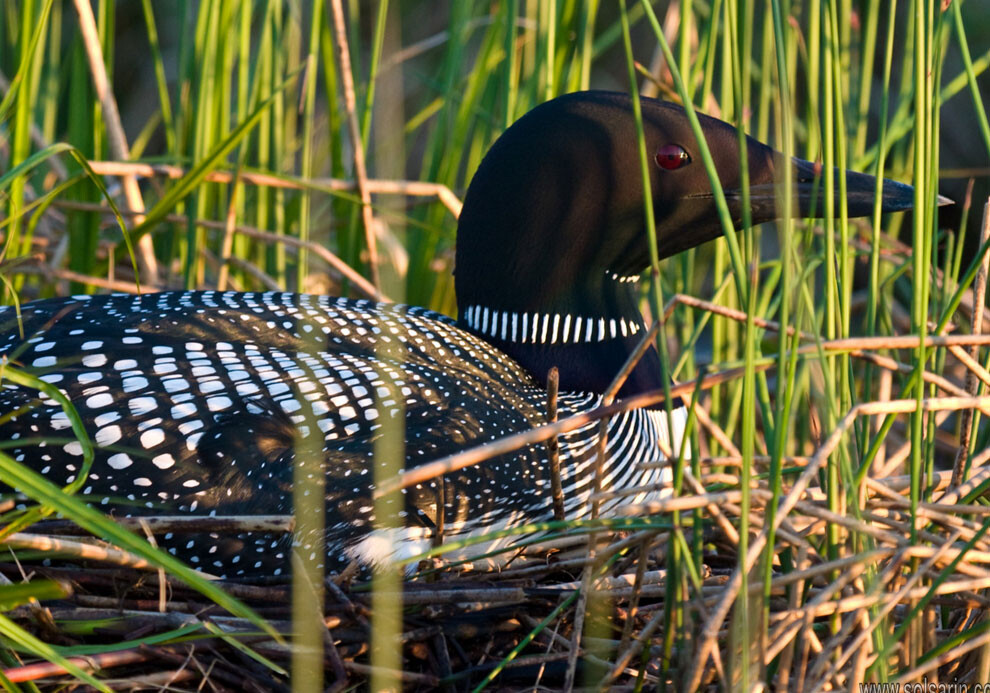 what is the state bird of minnesota?