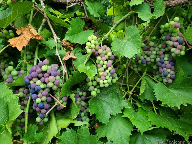 do grapevines have parallel veins