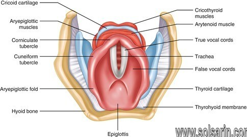 when is the glottic opening the largest