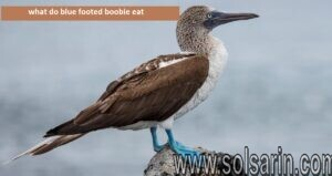 what do blue footed boobie eat