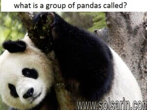 what is a group of pandas called?