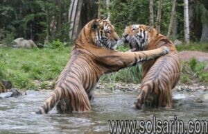 when did tigers first become endangered
